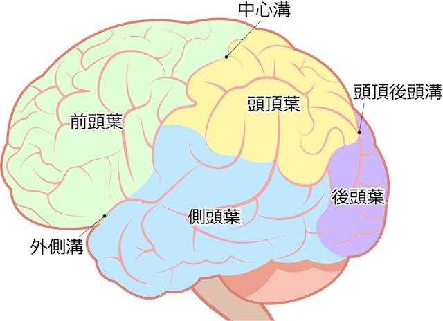 大脳皮質の構成